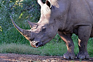 Rhino Poaching Trends