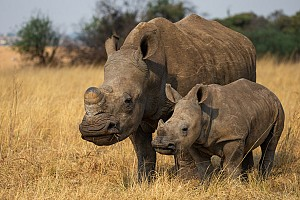 Report on Rhino Poaching in SA 2020